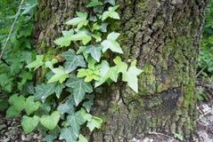 Efeu auf einem Baum Stockfotografie
