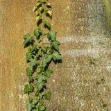 Efeu auf einem Baum Stockfotos