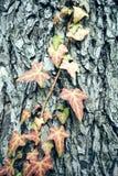 Efeu auf einem Baumstamm Lizenzfreies Stockbild