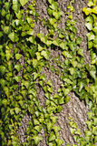 Efeu auf einem Baumstamm, Naturhintergrund Lizenzfreies Stockfoto