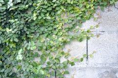 Efeu auf einer Backsteinmauer Stockbild