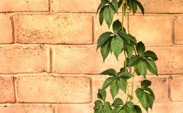 Efeu auf einer Backsteinmauer Stockbilder