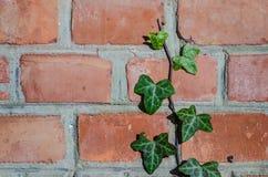 Efeu auf einer Hausmauer Stockfotografie