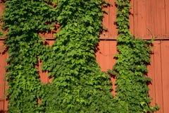 Efeu auf einer roten hölzernen Wand Stockfotografie