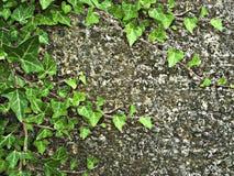Efeu auf einer Wand Stockbilder