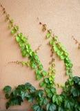 Efeu auf Wand Stockfotografie