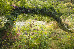 Efeu bedeckte Baum Stockbilder
