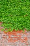Efeu bedeckte eine Backsteinmauer Lizenzfreie Stockbilder