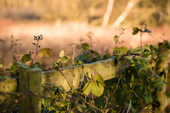 Efeu bedeckte Zaun auf einem sonnenbeschienen Landweg lizenzfreie stockfotografie