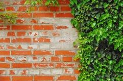 Efeu deckte Wand ab Stockfotografie