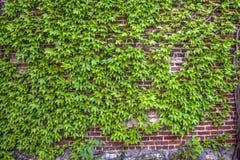 Efeu deckte Wand ab Stockbild