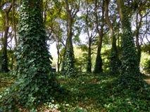 Efeu, der auf Bäumen climing ist Lizenzfreie Stockfotos