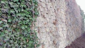 Efeu, der auf Backsteinmauer wächst lizenzfreie stockfotografie