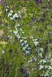 Efeu, der auf der Eiche klettert Lizenzfreie Stockbilder