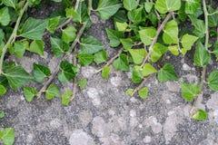 Efeu, der auf einer Backsteinmauer wächst Lizenzfreies Stockfoto