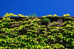 Efeu, der auf Steinwand wächst lizenzfreies stockfoto