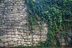Efeu, der die alte Wand klettert Stockfotografie