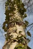 Efeu, der einen Baum aufwächst stockbild