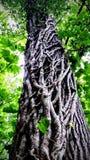 Efeu, der einen Baum aufwächst Stockbilder
