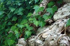 Efeu, der einen Baum und sotnes umfasst Stockfotos