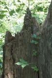 Efeu, der einen defekten Stumpf klettert Stockfotografie