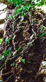 Efeu, der um einen Baum twining ist Lizenzfreie Stockbilder