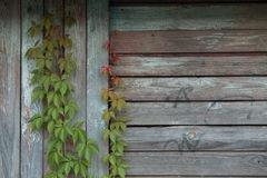 Efeu entlang der Wand Stockfotografie