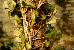 Efeu på dött träd Arkivfoton
