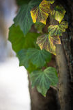 Efeu verlässt auf dem Baum im Winter Stockfoto