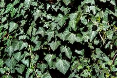 Efeu verlässt Nahaufnahme, freundliches Evergreens eco lizenzfreies stockbild