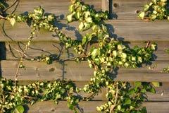 Efeu wächst auf hölzernem Plankenzaun Stockfoto