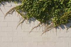 Efeu-Wand stockfotografie
