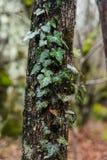 Efeu wird auf einem Baumstamm gesponnen Stockfotos