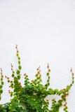Efeuanlage auf weißem Hintergrund Lizenzfreie Stockfotos