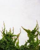 Efeuanlage auf weißem Hintergrund Lizenzfreies Stockfoto