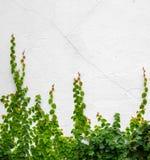Efeuanlage auf weißem Hintergrund Stockfotos