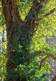 Efeuanlage, die oben einen Baum klettert Stockfotos
