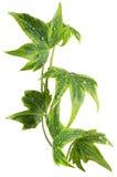 Efeuanlagenhedera-Helix mit Wassertropfen Stockbild