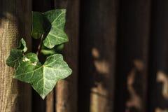 Efeukürbis, Coccinia grandis Grün verlässt auf hölzerner Wand mit Bullauge und flacher Abteilung des Feldes Lizenzfreie Stockfotografie