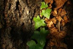 Efeulianen auf Baumrinde Stockbild