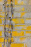Efeustammniederlassung läuft herauf die gelbe Backsteinmauer Stockbilder