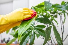 Effacez la poussière des feuilles des usines d'intérieur photographie stock