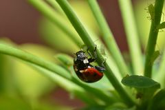 Insect ladybug red and nor alone on a green plant in close up stock image