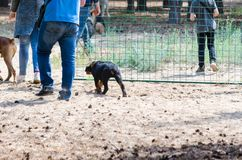 A rottweiler puppy awkwardly completes movement in a circle on a training platform next to its owner. Effective day spent in dog training center with an royalty free stock image
