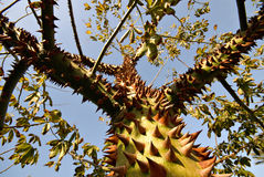 Effective Deterrant (A Prickly Thorn Tree) Royalty Free Stock Photos