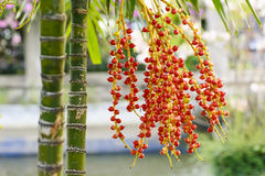 Effects of Areca catechu Stock Images