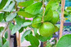 Effects surface fresh lime on tree in garden Stock Photo