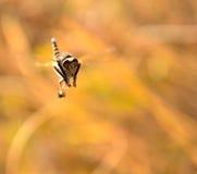 Efferia albibarbis in flight. Efferia albibarbis in full flight Stock Image