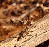 Efferia albibarbis in full flight in its courtship ritual. Courtship ritual of robber flies Royalty Free Stock Image