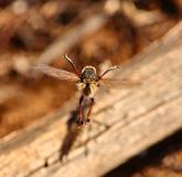 Efferia albibarbis performing stunts in its courtship ritual. Courtship ritual of robber flies Stock Images